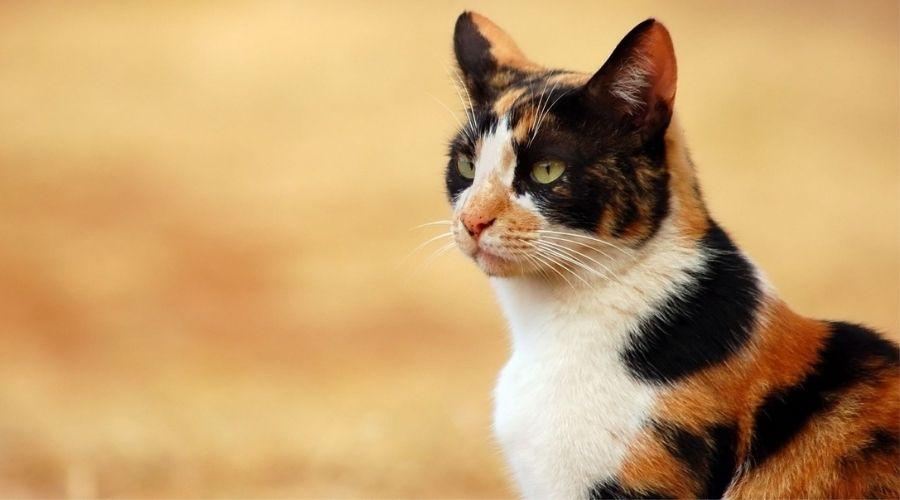 кошки - денежные талисманы