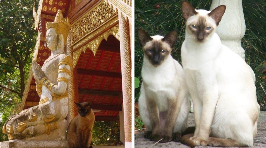 сиамские храмовые кошки
