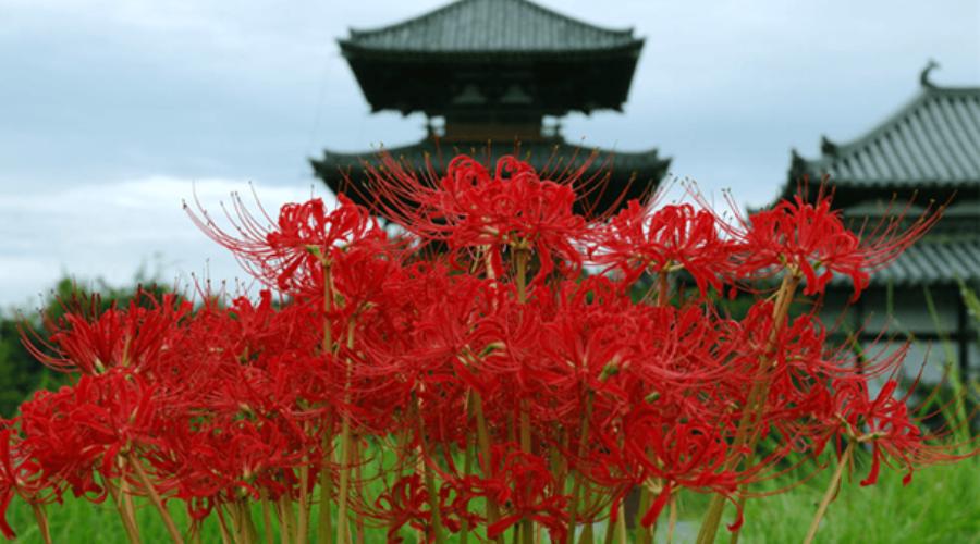 Цветочный гороскоп паучья лилия
