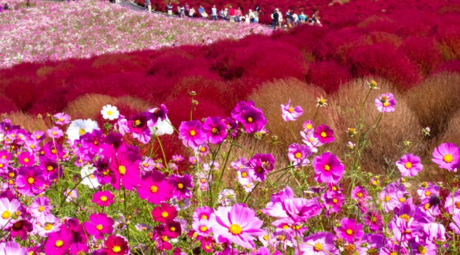японский язык цветов - космея