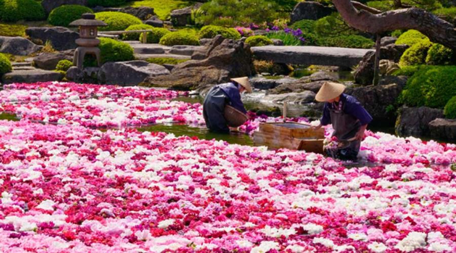 японский язык цветов - пион