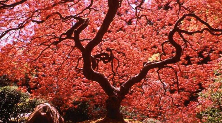 Цветочный гороскоп по дате персик